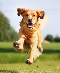 Dog Teach Your Dog An Emergency Recall