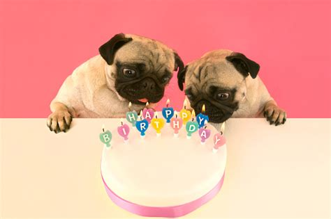 pug candles pug dogs out candles on birthday cake stock photo getty images
