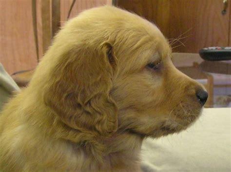 golden retriever puppies adoption nj golden retriever rescue puppies nj photo