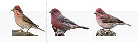 purple finch or house finch cassin s finch house finch and purple finch feederwatch