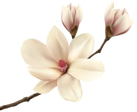 white spring magnolia branch png clip art image gallery