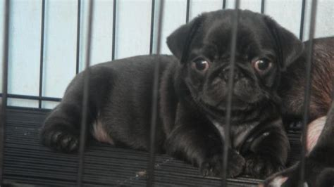 black pugs for adoption quality pets mastino s adpost