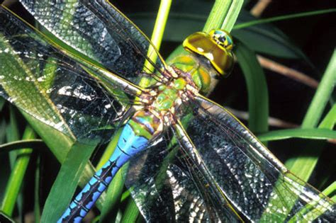 green dragonfly l green darner dragonfly anax strenuus insects org