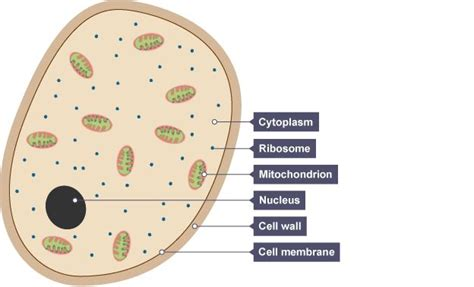 yeast cell showing cytoplasm  small ribosomes