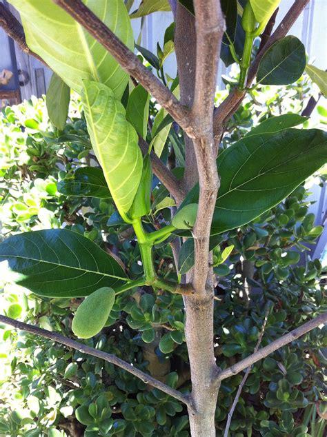 grafting fruit tree forum jackfruit grafting cherimoya