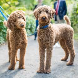 standard poodle hair styles best 25 standard poodles ideas on pinterest poodles