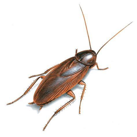 scarafaggi volanti cockroaches hometeam pest defense