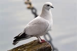 free photo dove bird animal freiburg free image on
