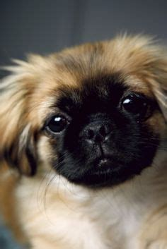 when will my puppy stop growing pekingese on 70 pins