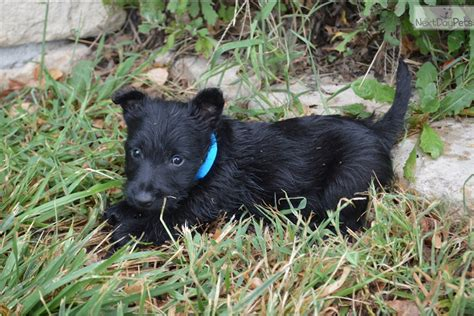 puppies for sale in manhattan ks scottish terrier dogs and puppies pets do breeds picture