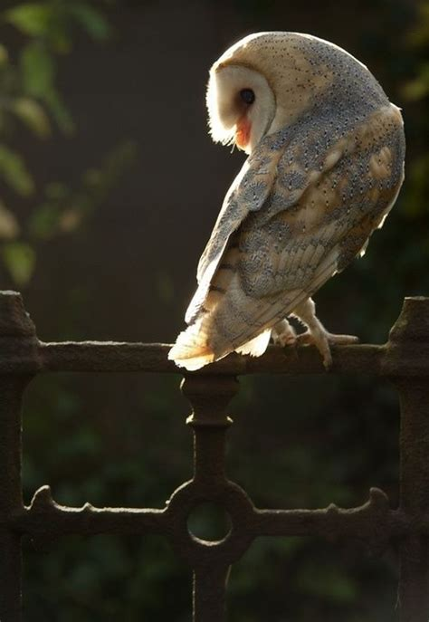 95 Best Owl Images On Animal - 95 best owls images on barn owls animal