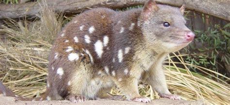 imagenes de animales faras el quol tigre un curioso marsupial australiano diario