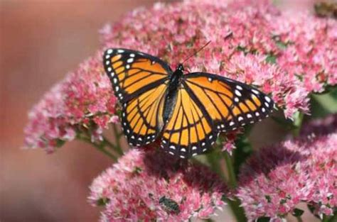 what colors attract butterflies blooming flowers for attracting butterflies and