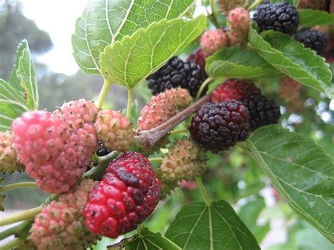 mulberry tree no fruit black mulberries berries cherries