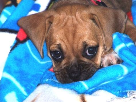 How Much Do Puggles Shed by Puggle Puggles Breed