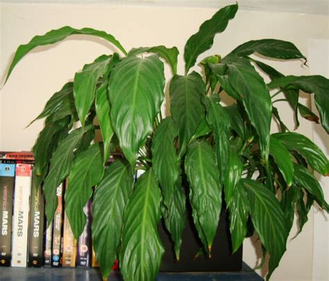 japanese house plants japanese peace lily www pixshark com images galleries
