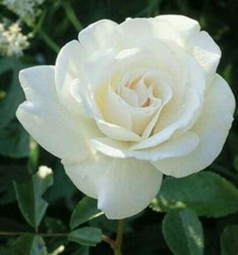 Pupuk Untuk Bunga Mawar jual tanaman bunga mawar putih di lapak surgar bunga surga