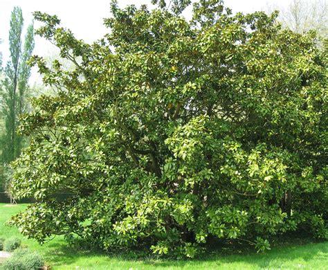 sichtschutz aus pflanzen 2463 file magnolia grandiflora by line1 jpg wikimedia commons