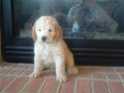 Goldendoodles For Sale In Indiana Breeds Picture
