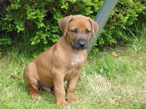 rhodesian ridgeback rescue puppies rhodesian ridgeback dogs for adoption and rescue design bild