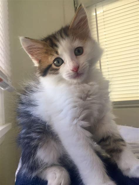 adoption colorado springs 30 beautiful kittens up for adoption