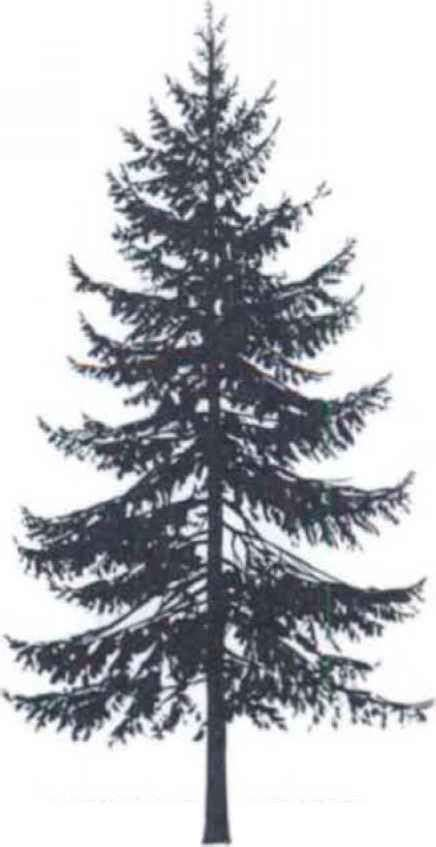 spruce tree tattoo spruce silhouette pinteres
