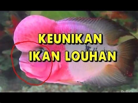 Pakan Ikan Louhan Agar Cepat Merah 10 tips cara memelihara ikan louhan agar cepat jenong