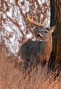 whitetail deer shedding antlers stock images image 23972414