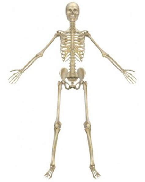 Kerangka Manusia sistem rangka tubuh manusia ilmu pengetahuan