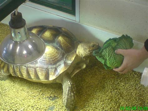 sulcata tortoise bedding decorating fill your home with outstanding sulcata