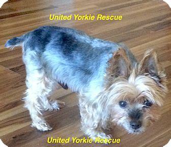 yorkie rescue arkansas zephyrhills fl yorkie terrier meet yogi a for adoption