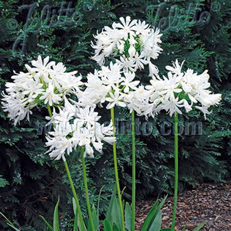 agapanthus getty white seeds from mr fothergill s seeds and plants