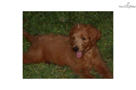 goldendoodle puppy prices goldendoodle puppy for sale near abilene dc951e04