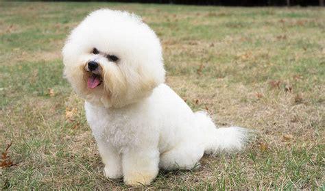 lifespan of bichon poodle bichon frise expectancy 18 free wallpaper