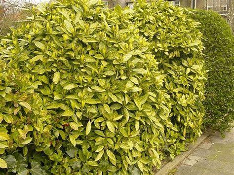 arbusti sempreverdi da giardino arbusti sempreverdi perenni piante perenni