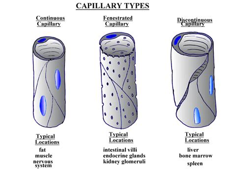 capillary diagram what is fenestrated capillary biology science forums