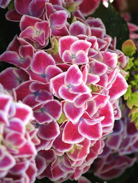 ortensie in vaso il vivaio giardino tara