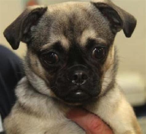 buffalo pug small breed rescue buffalo pug small breed rescue inc piggy s page