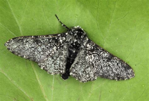 Peppered Moth peppered moth images search
