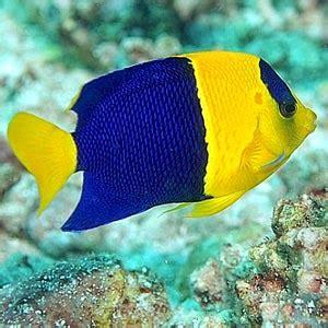 cara menghasilkan warna ungu pada ikan cupang jenis jenis ikan hias dan cara memelihara kumpulan