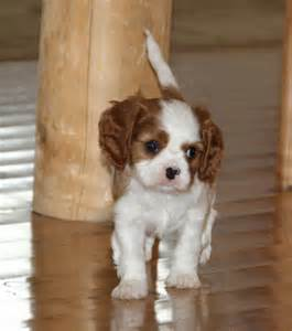 cavalier king charles spaniel puppies color colour blenheim