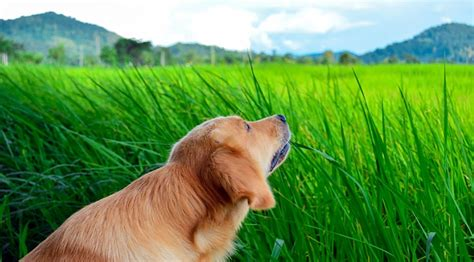 grass and throwing up why do dogs eat grass