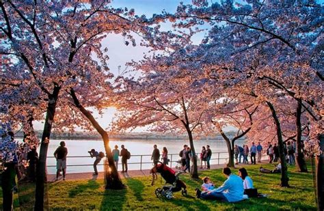 national cherry blossom festival national cherry blossom festival 18 mar 10 apr 2016