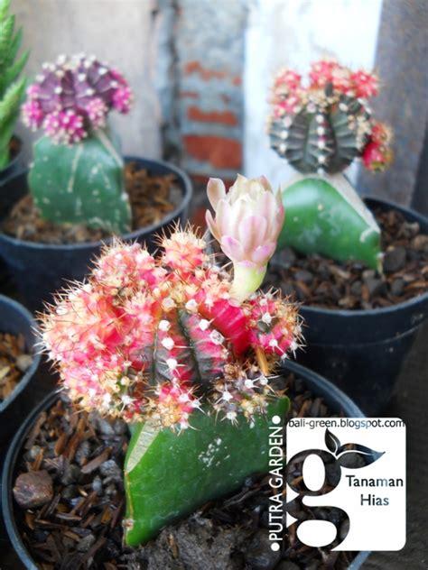 jual tanaman hias kaktus mini merah  ungu termurah