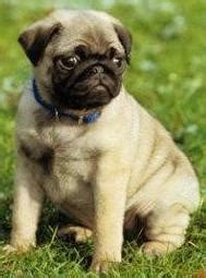pug pros and cons the pros and cons of choosing pug puppy as a pet the pets central