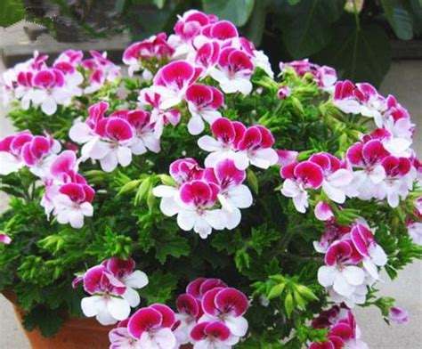 Benih Biji Bunga Geranium Perenial jual benih bibit biji bunga geranium pelargonium
