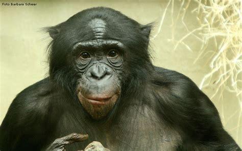 www.zoo-wuppertal.net - Bonobo
