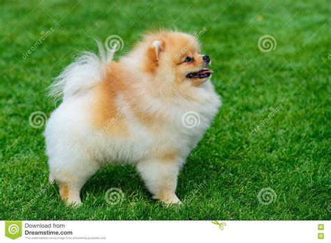 miniature pomeranian price miniature pomeranian spitz standing on green field stock photo image of domestic