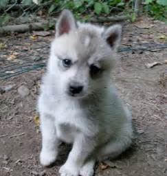 Alaskan Klee Kia Alaskan Klee Puppies Rescue Pictures Information