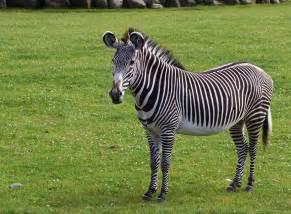sebra le gr 233 vy s zebra